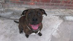 SAFE !  10/13/13 Brooklyn Center - P~KING. My Animal ID # is A0981487.Male br brindle and white pit bull mix. I am about 3 YEARS old. OWNER SUR on 10/08/2013. King is said to be house trained, gets along with kids/people/cats/dogs. NO problems with food/bone/toy tests, did rush in to greet helper dog-would benefit from some doggy socialziing. King needs a loving home to keep him on the right track.