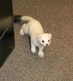 This is not a cat or a ferret.this is a stoat. I want a stoat. Cute Creatures, Beautiful Creatures, Animals Beautiful, Cute Little Animals, Cute Funny Animals, Pet Ferret, Ferret Toys, Dog Cat, Cute Ferrets