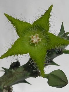 Orbea dummeri (Stapelia dummeri) → Plant characteristics and more photos at: http://www.worldofsucculents.com/?p=4641