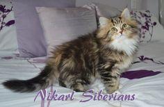 Classic Tabby and White Nikarl Siberian Kitten, son of Ikebana and Chukovsky