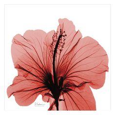 Close Up of Red Beauty Print by Albert Koetsier
