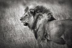 jacekbielarz.com Lion Pictures, Photographs, Animals, Lions Photos, Animales, Animaux, Photos, Animal, Animais