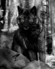 I've not seen a wolf with this dark coloring - Nice. Post your best Foxes,coyotes,and Wolf pictures - Canon Digital Photography Forums Beautiful Creatures, Animals Beautiful, Cute Animals, Wild Animals, Fierce Animals, Wolf Spirit, Spirit Animal, Wolf Pictures, Animal Pictures