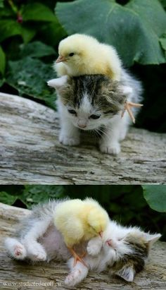 Baby chick wrestling with kitten