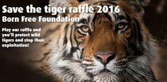 #InternationalTigerDay I've Entered Born Free Foundation's' Save the Tiger' Raffle 2016!  GET YOUR TICKETS BEFORE SEPTEMBER 28th 2016 https://www.raffleplayer.com/bornfree