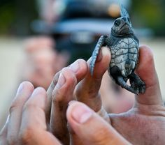 Turtle release in San Pancho Mexico. See the baby turtles released nightly on the beach - Book your winter vacation now! www.sanpanchorentals.com