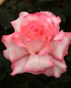 Secret™ Hybrid Tea Rose