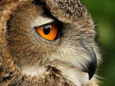 """Eye of the Eagle Owl."" by Mark Hughes | Redbubble"