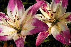 Lilies! May birth flower