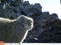 "Close-up footage of the elusive snow leopard caught by camera traps set in Mongolia funded by NHA and NHA guests on our first ""In Search Of"" trip."