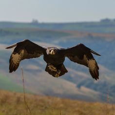 A South African Black Eagle comes in for a landing at Falcon Ridge Bird of Prey center. Photo by @salvarezphoto (Stephen Alvarez)