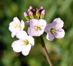Wiesen-Schaumkraut - Die Hungerblume regt Leber und Galle an, wirkt gegen Frühjahrmüdigkeit und stärkt das Immunsystem - Bild von Rudolf Schäfer [CC-BY-SA-2.0]