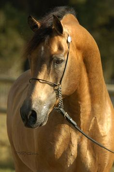 Robbi Sue's Mr Alert - buckskin Morgan stallion