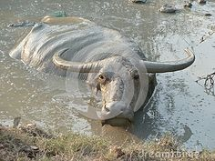 Using the mud for protection from the sun and flies, a water buffalo wallows in a mud hole in Southeast Asia