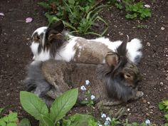 Bunnies Relax in the Cool Dirt After Their Jaunt through the Garden - August 9, 2011