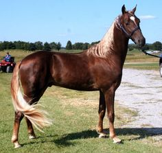Tennessee Walking Horse (beautiful, and a breed wonderful with people!)