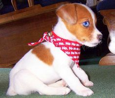 Jack Russell Terrier puppy - awww! Cute little blue eyes!