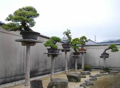 Bonsai trees in pots on ''giboku'' concrete tree simulators in the garden's exhibition corner.