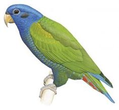 Blue-breasted Parrot (Pionus reichenowi) (Formerly included in Pionus menstruus)