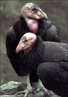 Pair of California Condors  Only a Condor mother could love these ugly birds