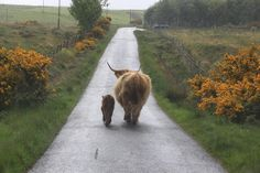 A Highland Coo and her calf wandering down an empty road, Argyll and the Isles, Scotland. Credit: Andy Maclachlan.