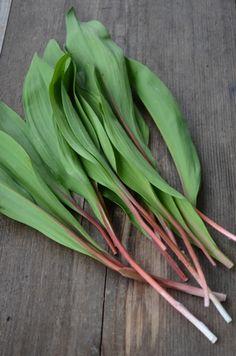 Allium tricoccum (Wild Leek) also known as 'Ramps'