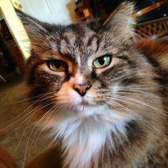 From @sassy_thebeautiful  #cutecatskittens #cat #love #cats #instacat #instacats #catstagram  #cats_of_instagram #catsofinstagram #meow #animals #animal #pet #pets #cute #cutecat #kittens #lovecats #instaphoto #awesome #nofilter #followforfollow #follow4follow #picoftheday #kitten #petoftheday #adorable #catlover