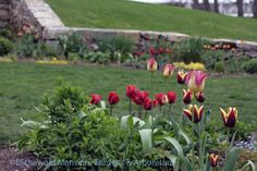 I'm so glad the deer were put off by all the smelly stuff we sprinkled and sprayed on the tulips because they're giving us the prettiest show right now. The Rose Garden looks like a . Plants, North Garden, Tulips, Rose, Rose Garden, Garden