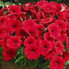 Petunia, Picobella Red
