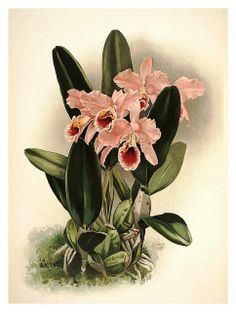 tons of orchid botanical prints