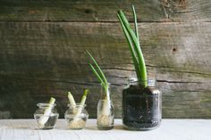 How to Regrow and Reuse Scallions - The Cutting Board by Green Chef Growing Spring Onions, Green Onions Growing, Growing Greens, Growing Veggies, Growing Herbs, Planting Green Onions, Regrow Green Onions, Planting Vegetables, Root Vegetables