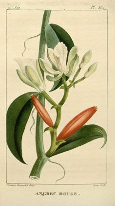 Picturesque and medical flora of the Antilles, or natural history of plants usual French colonies, English, Spanish and Portuguese; Publication info Paris Pichard BHL Collections: New York Botanical Garden Vegetable Illustration, Nature Illustration, Botanical Illustration, Botanical Drawings, Botanical Prints, Botanical Gardens, Impressions Botaniques, Illustration Botanique, Flora