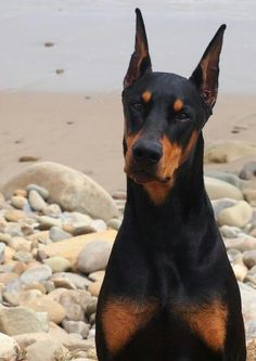 The Doberman Pinscher is among the most popular breed of dogs in the world. Known for its intelligence and loyalty, the Pinscher is both a police- favorite I Love Dogs, Cute Dogs, Big Dogs, Large Dogs, Black And Tan Terrier, Doberman Pinscher Dog, Doberman Love, Training Your Dog, Beautiful Dogs