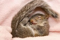 Pepper the baby squirrel napping - so sweet and innocent.  <3<3<3