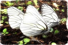 Three White Butterflies  http://www.animals-zone.com/life-cycle-caterpillar-to-butterfly