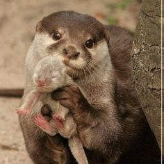 momma and baby otter <3 - this makes my heart THROB!