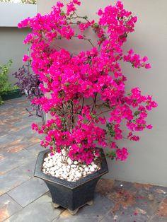 [New] The 10 Best Home Decor Today (with Pictures) Bougainvillea, Wonderful Flowers, Pretty Flowers, Flower Planters, Flower Pots, Garden Plants, House Plants, Window Box Flowers, Front Garden Landscape