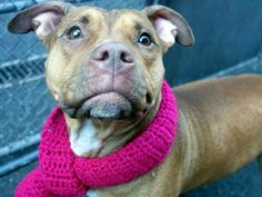 SAFE --- URGENT - Manhattan Center    PEARLY - A0993316    FEMALE, BROWN, PIT BULL MIX, 1 yr 6 mos  OWNER SUR - EVALUATE, NO HOLD Reason OWN EVICT   Intake condition NONE Intake Date 03/07/2014, From OUT OF NYC, DueOut Date 03/07/2014, I came in with Group/Litter #K14-169959  https://www.facebook.com/photo.php?fbid=770909882921893&set=a.617938651552351.1073741868.152876678058553&type=3&permPage=1