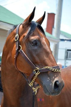 The 2015 #Triple Crown winner (I'll never get tired of saying that) American Pharoah.