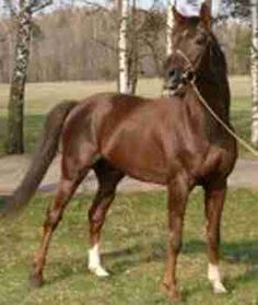 The Trakehner Horse,   The Trakehner was developed in the 18th century in what was East Prussia (Poland) from the Schwieken horse. Following the end of World War II, less than a thousand of these horse trekked west with refugees escaping the Russian invasion. These horses re-established the breed in Germany.
