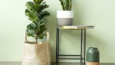 Fiddle Leaf Fig is a very popular indoor plant. Known as Ficus Lyrata, it is an indoor fig tree that can last for many years if cared for correctly. Clematis Trellis, Diy Trellis, Ficus, Snake Plant Care, Mother In Law Tongue, Fiddle Leaf Fig Tree, Low Light Plants, Best Indoor Plants, Hanging Planters