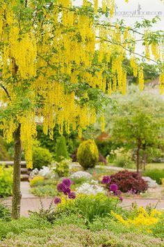 Laburnum tree blooms in Perthshire floral photographer Rosie Nixon's June garden in Scotland. www.leavesnbloom.com