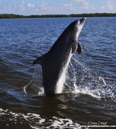 Good Time Charters dolphin jumping in the boats wake. Fort Myers Beach, Florida.