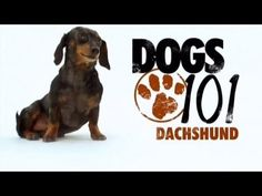 Dachshunds 101 A quick education about the breed - I Love Dachshunds
