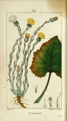 img/dessins-gravures de plantes medicinales/tussilage, pas d'ane, taconnet.jpg