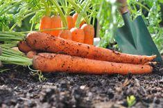 Att odla morötter kan vara bland det enklaste som finns. Men många gör misstaget att så allt på en gång. Här är råden om hur du får morötter hela säsongen och även hur man lagrar dem.