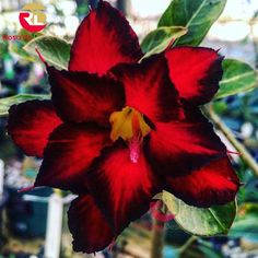 Adenium obesum is a species of flowering plant in the dogbane family, Apocynaceae, that is native to the Sahel regions, south of the Sahara, and tropical and subtropical eastern and southern Africa and Arabia. Common names include Sabi star, kudu, mock azalea, impala lily and desert rose. Strange Flowers, Unique Flowers, Exotic Flowers, Colorful Flowers, Beautiful Flowers, Fruit Flowers, Flowers Nature, Planting Flowers, Gothic Garden