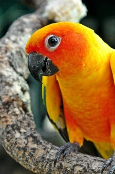 Most common eye disorder in birds, http://petsplease.com.au/news/most-common-eye-disorders-in-birds-93