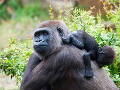 Einfach zum Knuddeln: Gorillababys
