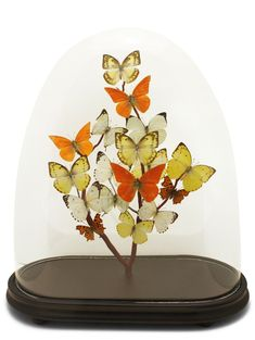 Butterflies in glass domes. Butterfly domes made using modern glass dome, vintage glass domes and antique glass domes. Taxidermy art.